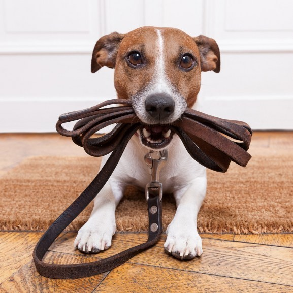 Small dog receiving dog training while holding lead in mouth.
